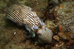 Sepioloidea_lineolata