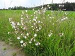 Silene_latifolia_subsp__alba
