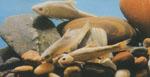 Sinocyclocheilus_angustiporus