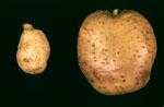Solanum_chacoense
