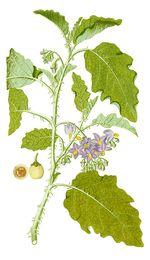 Solanum_coagulans