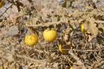 Solanum_incanum
