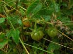 Solanum_pimpinellifolium