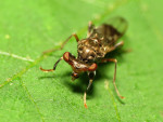 Sphyracephala_brevicornis