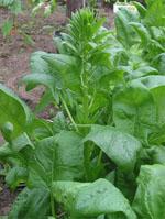 Spinacia_oleracea_cultivar_Sp75
