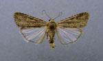 Spodoptera_exigua