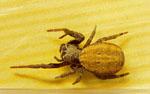 Stegodyphus_mimosarum