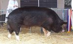 Sus_scrofa_domestica_breed_Berkshire
