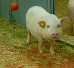 Sus_scrofa_domestica_breed_Ellegaard_Goettingen_minipig