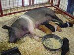 Sus_scrofa_domestica_breed_Hampshire