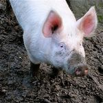 Sus_scrofa_domestica_breed_LargeWhite