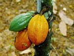 Theobroma_cacao_cultivar_B97_61_B2