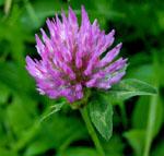Trifolium_pratense_cultivar_Milvus_B