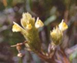 Triphysaria_versicolor