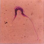 Trypanosoma_theileri
