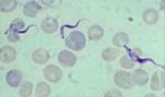 Trypanosoma_vivax