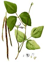 Vigna_unguiculata_subsp__unguiculata