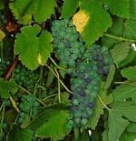 Vitis_vinifera_cultivar_Chkhaveri