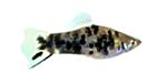 Xiphophorus_maculatus_x_Xiphophorus_helleri