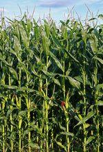 Zea_mays_subsp__mays_cultivar_PH207