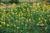 Arachis_duranensis_cultivar_PI475845