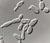 Saccharomyces_pastorianus_79