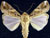 Spodoptera_frugiperda_R_strain